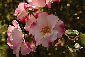 バラ科の花霞の写真