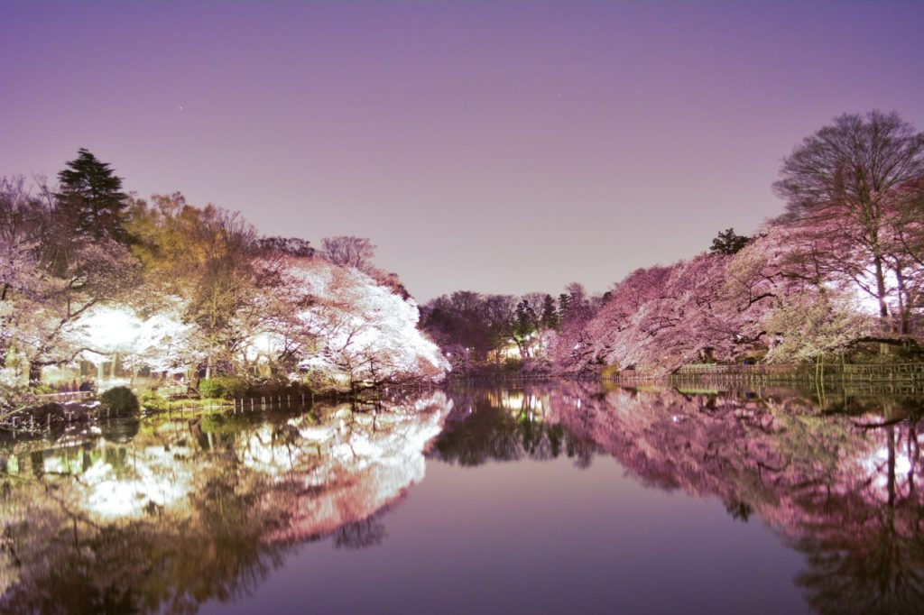 桜のライトアップの写真