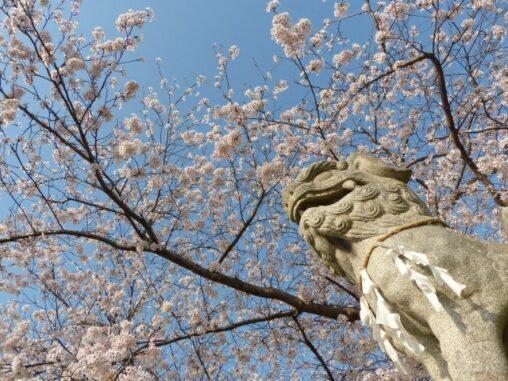 狛犬と桜の写真