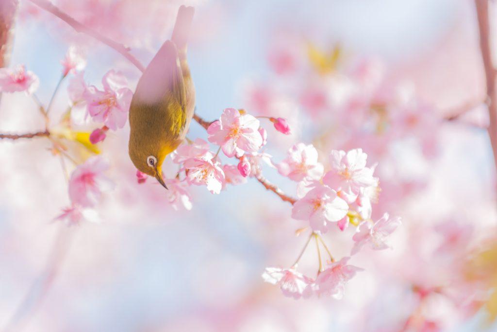 メジロと桜の写真