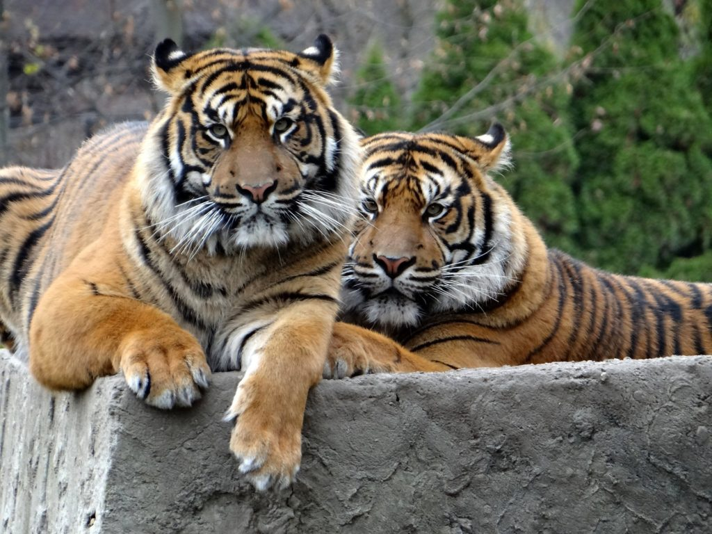 2匹の虎の写真