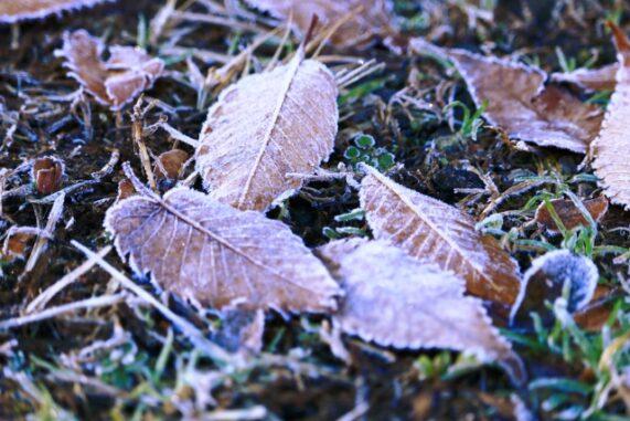 霜が付いた落ち葉の写真