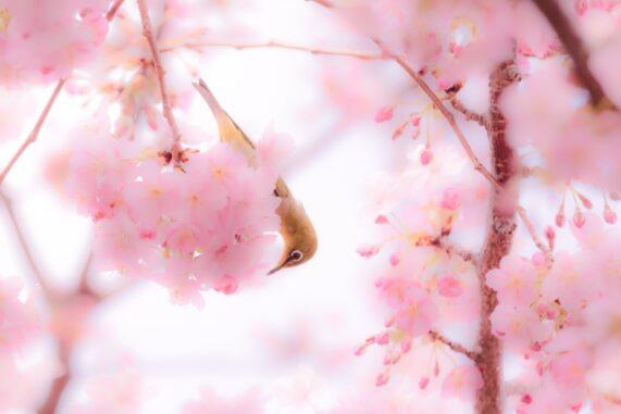 ウグイスと桜の写真