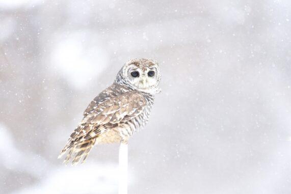 雪の中にいるフクロウの写真