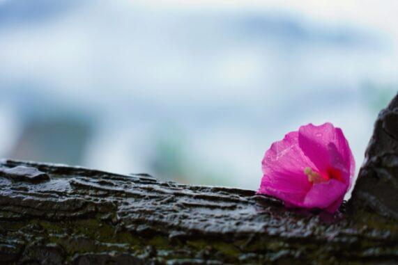 雨に濡れたお花の写真