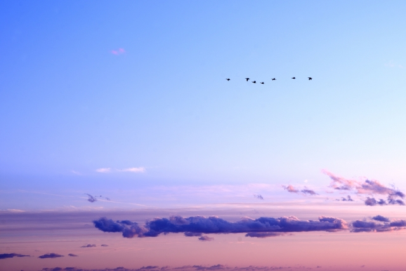 空に飛ぶ渡り鳥の写真