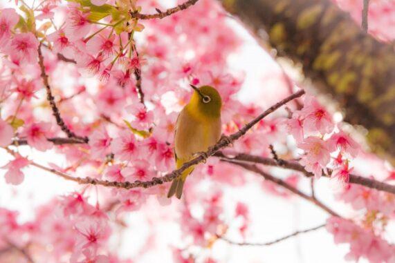 桜とメジロの写真
