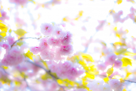 八重桜と輝く空の写真
