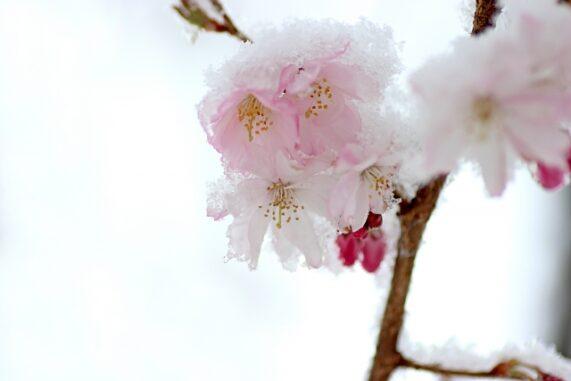 桜に積もる雪の写真