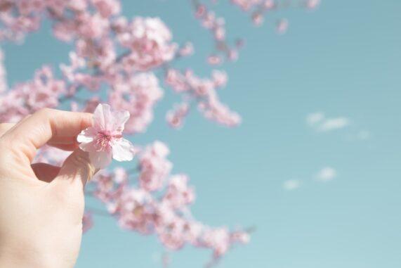 桜の花びらを持つ人の写真