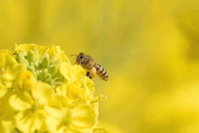 蜂と菜の花の写真