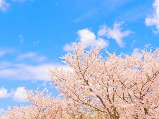 満開の桜と青空の写真