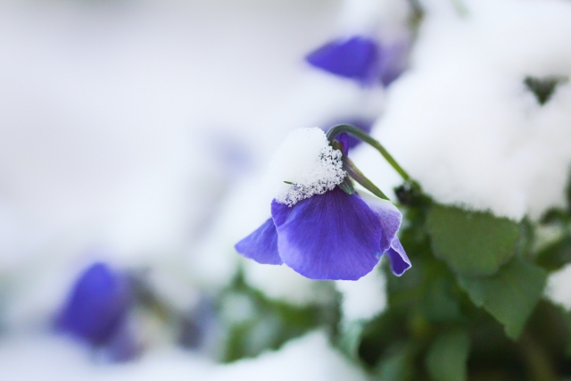 雪の積もった花の写真