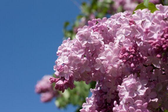 ライラックの花の写真
