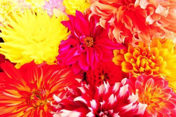 色とりどりのダリアの花の写真