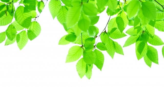 新緑の葉っぱの写真