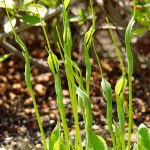 カラスビシャクの花の写真