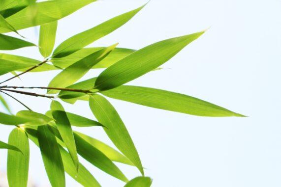 笹の葉の写真
