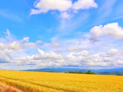 稲と青空の写真
