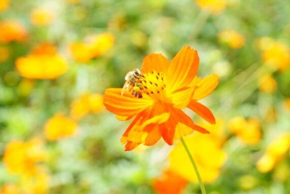 キバナコスモスと蜂の写真