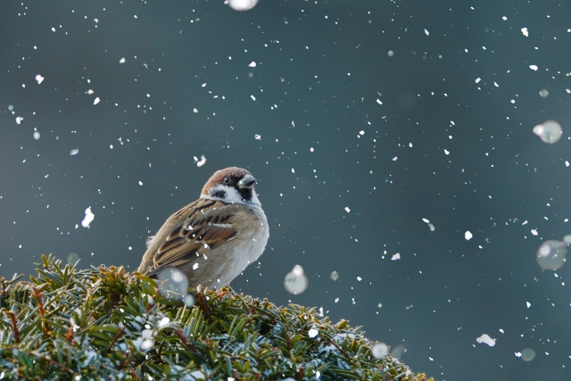 雪とすずめの写真